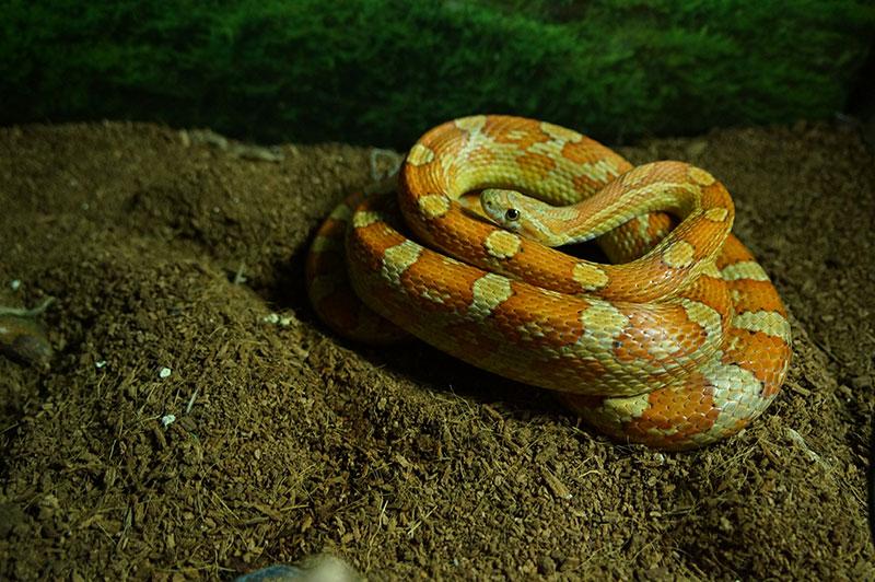 reptilefood-tesla