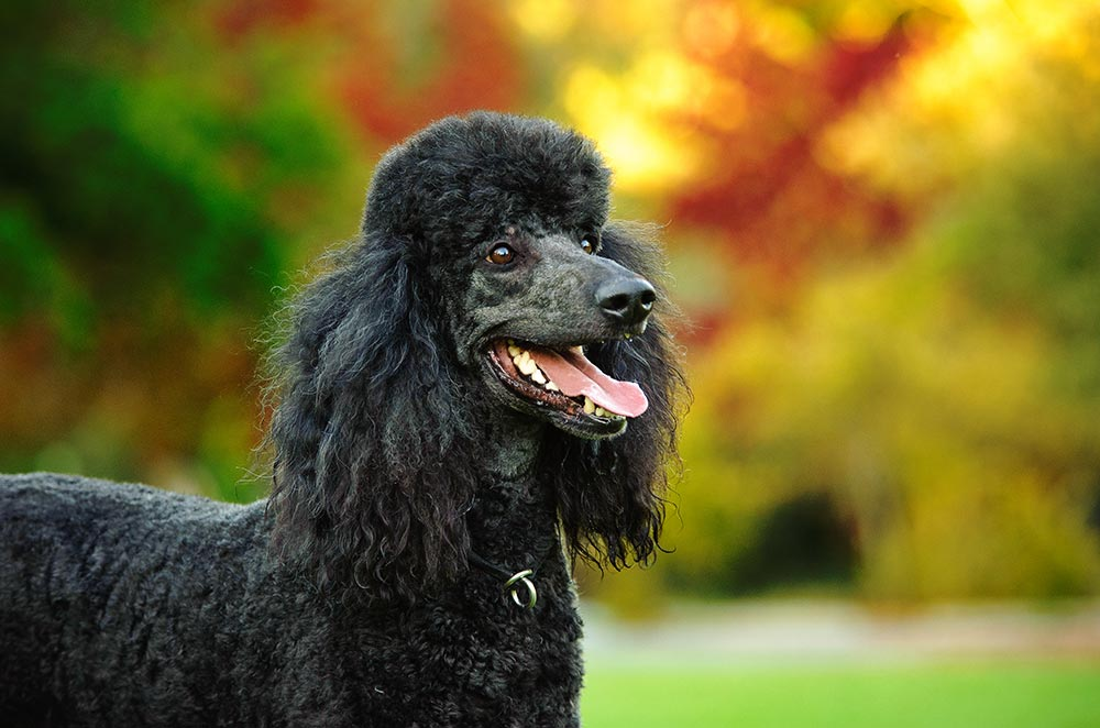 Whats Up With That Ridiculous Poodle Haircut