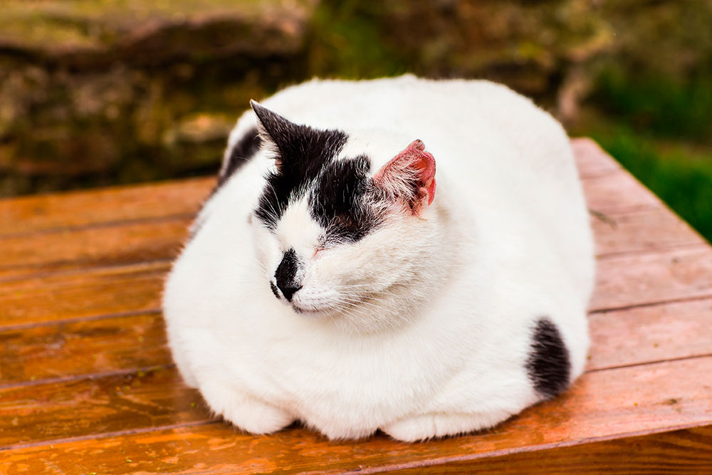 changediet-fatcat