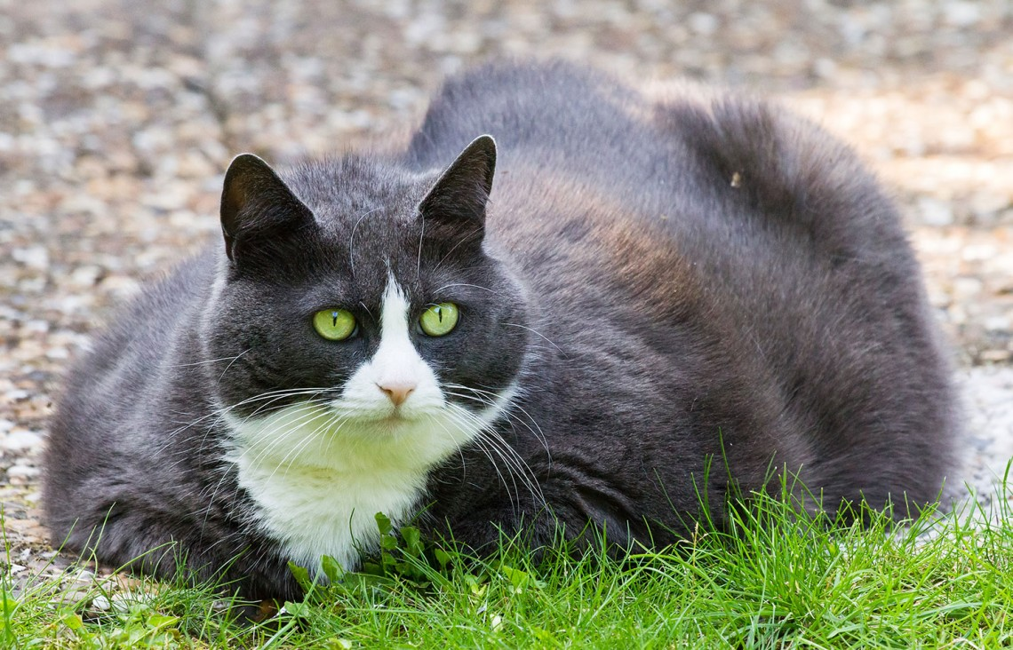 5 ways to know if your cat is too fat